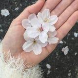 Kirschblüte in der Hand Lizenzfreies Stockfoto