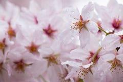 Kirschblüte die schönste Blume in Japan Stockbilder