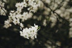 Kirschblüte draußen Stockfotografie