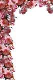 Kirschblüte-Eckzarge Stockfotos