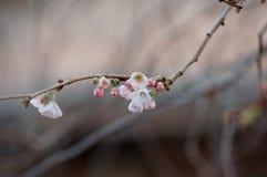 Kirschblüte in einem Winter Stockfoto