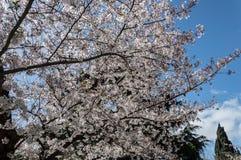 Kirschblüte, EUR, Rom Lizenzfreies Stockbild