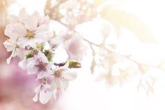 Kirschblüte für Hintergrund Lizenzfreies Stockfoto