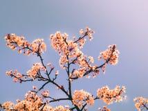 Kirschblüte fing an, zu Beginn der Jahreszeit zu blühen stockfoto