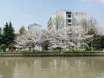 Kirschblüte, Flussufer, Hangzhou lizenzfreies stockbild