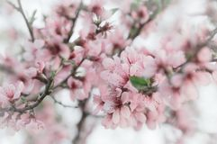 Kirschblüte, Frühlingskirschblüte-Niederlassungen mit den Rosa- und weißenblumen stockfoto
