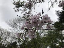 Kirschblüte in Fuji Lizenzfreie Stockbilder