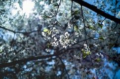 Kirschblüte im April in Qingdao, China lizenzfreie stockfotos