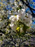Kirschblüte im Frühjahr Lizenzfreie Stockfotos