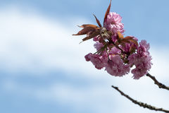 Kirschblüte im Frühjahr Lizenzfreies Stockfoto