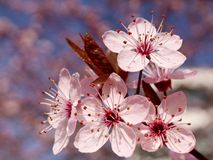 Kirschblüte im Frühjahr Stockbild