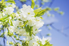 Kirschblüte im Frühjahr Stockfoto