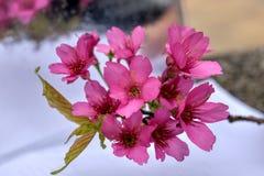 Kirschblüte im Frühjahr lizenzfreie stockfotografie