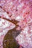 Kirschblüte im Frühjahr des Washington DC stockbild