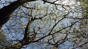 Kirschblüte im Frühjahr mit Kamera-Antrieb stock footage