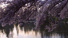 Kirschblüte im Park stock footage