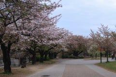Kirschblüte im Park Stockbilder