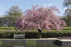 Kirschblüte im Park Klarenbeek in Arnhem stockfoto