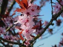Kirschblüte im Rosa lizenzfreie stockfotografie