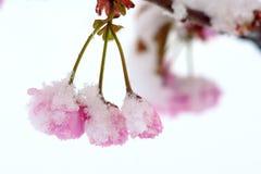 Kirschblüte im Schnee Lizenzfreie Stockfotos