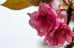 Kirschblüte im Sochi-Arboretum stockfoto