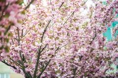 Kirschblüte ist- eine Blume einiger Bäume der Klasse Prunus, besonders die japanische Kirsche, Prunus serrulata, das s genannt wi lizenzfreie stockbilder