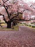 Kirschblüte in Japan Lizenzfreies Stockfoto