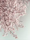 Kirschblüte (Kirschblüte) im Frühjahr lizenzfreie stockfotos
