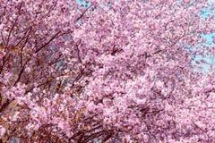 Kirschblüte Kirschblüte im Frühjahr Schöne rosa Blumen Lizenzfreies Stockfoto