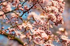 Kirschblüte-Kirschblütenniederlassungen mit Weichzeichnung Lizenzfreie Stockfotos