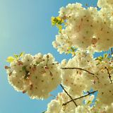 Kirschblüte-Kirschblumenblüte gegen blauen Himmel im Frühjahr Lizenzfreies Stockbild