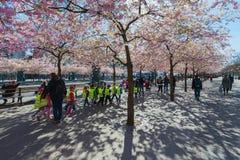 Kirschblüte in Kungstradgarden mit in Herden gelebten Kindern Lizenzfreie Stockfotos