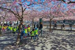 Kirschblüte in Kungstradgarden mit in Herden gelebten Kindern Stockbild