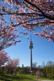 Kirschblüte in München Lizenzfreie Stockfotografie