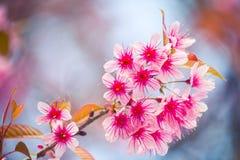 Kirschblüte mit bokeh lizenzfreies stockbild