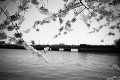 Kirschblüte mit Potomac-Fluss lizenzfreie stockbilder