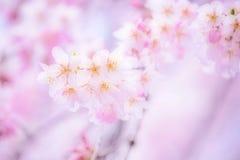Kirschblüte 2014 mit träumerischem Effekt stockbilder