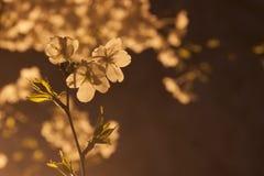 Kirschblüte nachts Stockfotografie