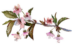 Kirschblüte-Niederlassung, Kirschblüte mit rosa Blumen Lizenzfreie Stockbilder