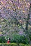 Kirschblüte oder Kirschblüte blüht, in Chiangmai-Provinz, Thailand stockbild