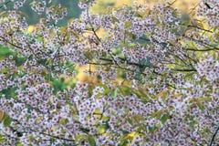 Kirschblüte oder Kirschblüte blüht, in Chiangmai-Provinz, Thailand lizenzfreie stockfotos