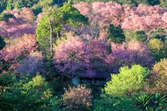Kirschblüte oder Kirschblüte blüht, in Chiangmai-Provinz, Thailand stockfoto