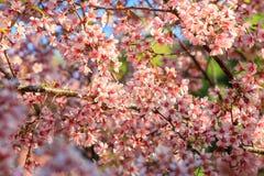 Kirschblüte oder Kirschblüte blüht, in Chiangmai-Provinz, Thailand lizenzfreie stockfotografie