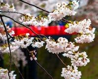 Kirschblüte oder japanische blühende Kirsche in Japan Lizenzfreie Stockfotografie