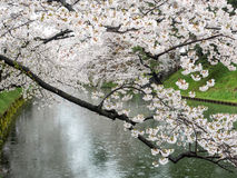 Kirschblüte oder japanische blühende Kirsche in Japan Lizenzfreies Stockbild