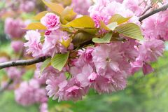 Kirschblüte Kirschblüte in Park König-Michael I Park früher Herastrau, Bukarest, Rumänien, während des Frühlinges lizenzfreies stockfoto