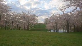 Kirschblüte-Rasen Stockfoto