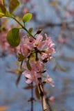 Kirschblüte-Rosa Stockfoto