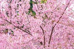 Kirschblüte-Rosa blüht Hintergrund Stockfoto