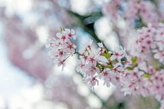 Kirschblüte, rosa Blüte in Japan Lizenzfreies Stockbild